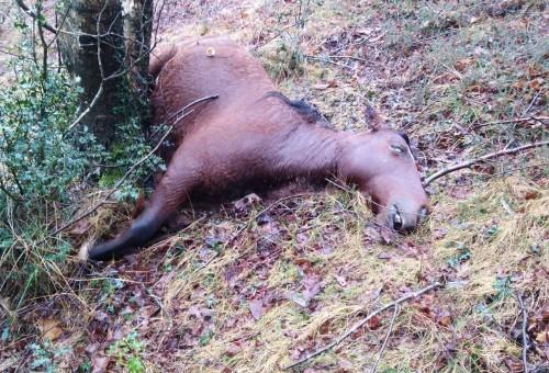 Bastión denuncia la muerte a tiros de varias reses en Salas (Asturias)